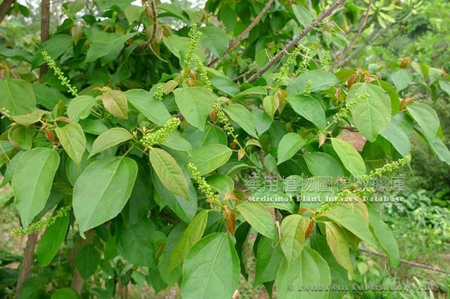 Medicinal Plant Images Database - Record page