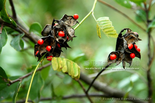 Medicinal Plant Images Database Record Page